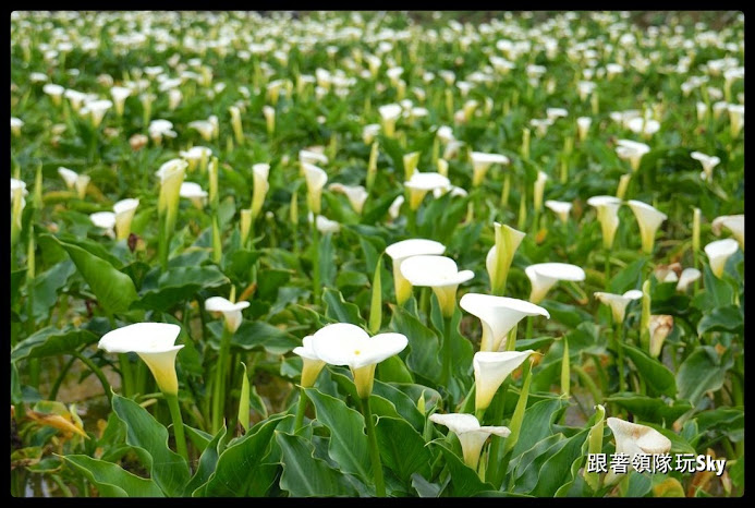 2019【陽明山竹子湖一日遊景點】繡球花.黑森林.美食