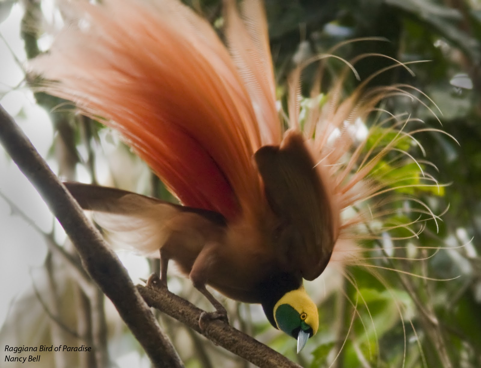 Images of Nature From Around the World Birding Papua New
