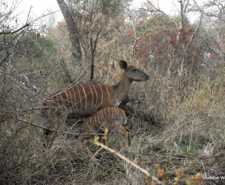 Nyala Doe and Nursing Cal at the Hluhluwe Imfolozi Game Reserve on our 3 day Safari Tour