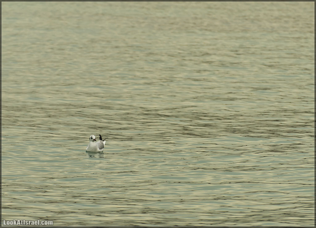 Чайка | Seagull | שחף
