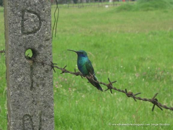 Colibri en el Humedal Salitre Greco