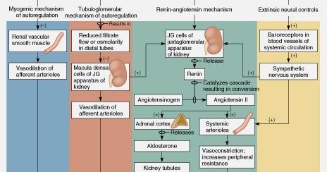 腎絲球過濾率調控(regulation of glomerular filtration rate) - 小小整理網站 Smallcollation