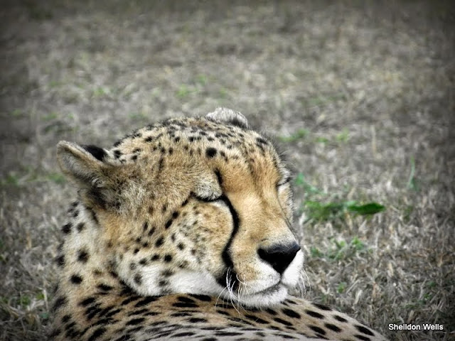 Cheetah spotted on a Durban Day Tour