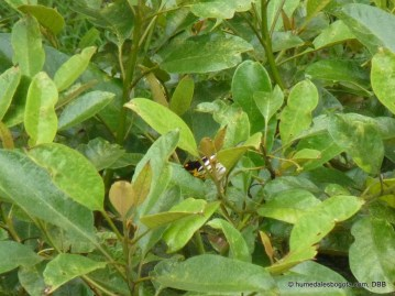 Reinita gorginaranja (Dendroica fusca)