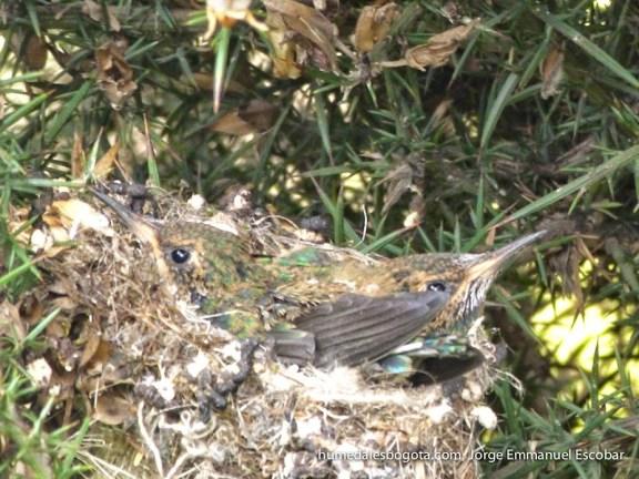 Crías de colibrí chillón