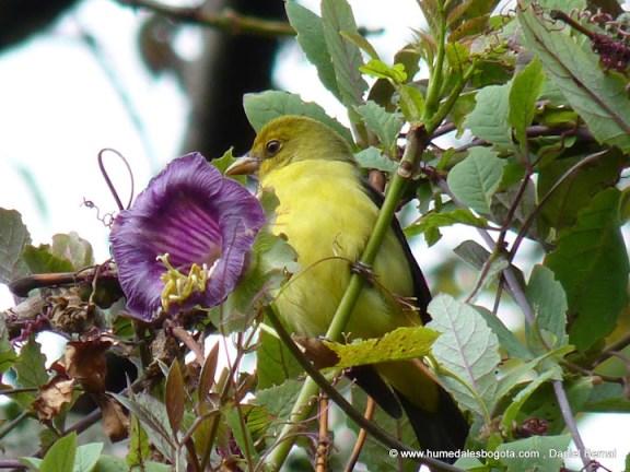 Tangara alinegra hembra (Piranga olivacea)