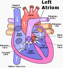 Science & Medicine: Left Atrium