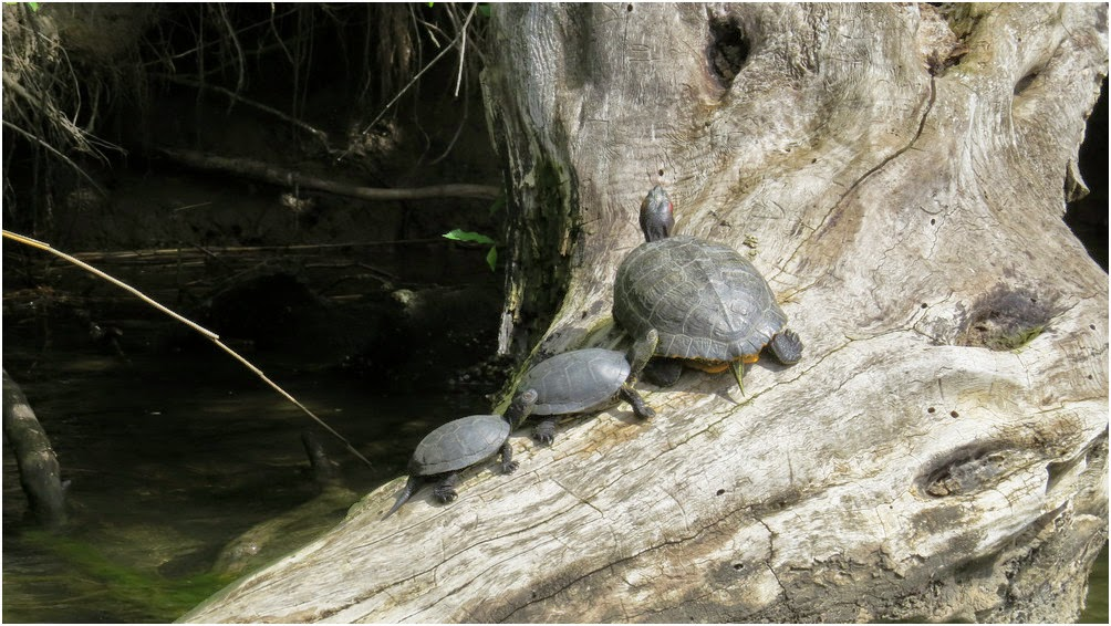Water turtles warming up on a tree trunk
