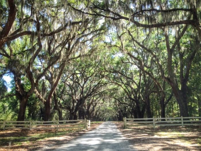 Savannah Iconic Spanish Moss draped oak trees