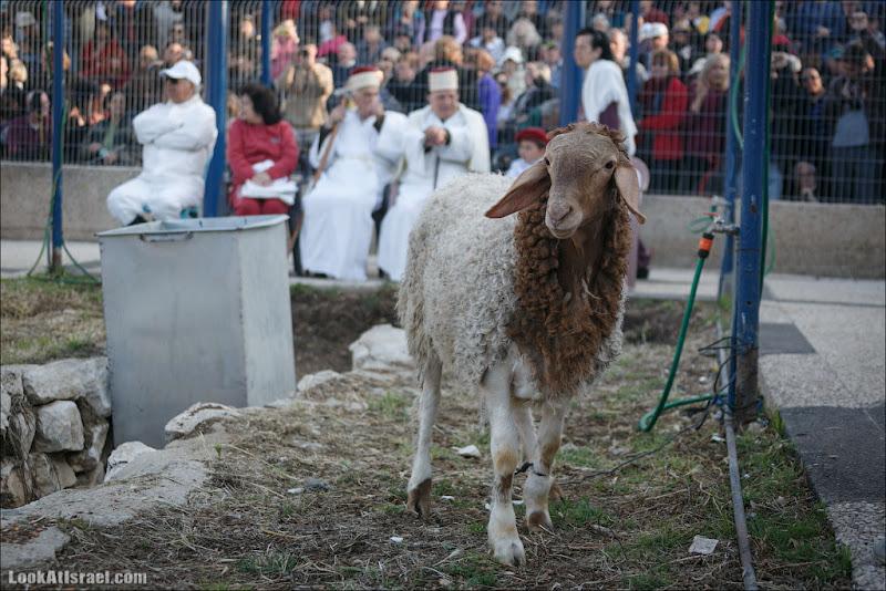 Ах, ты, бедная овечка
