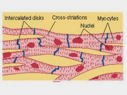 心肌(cardiac muscle) - 小小整理網站 Smallcollation
