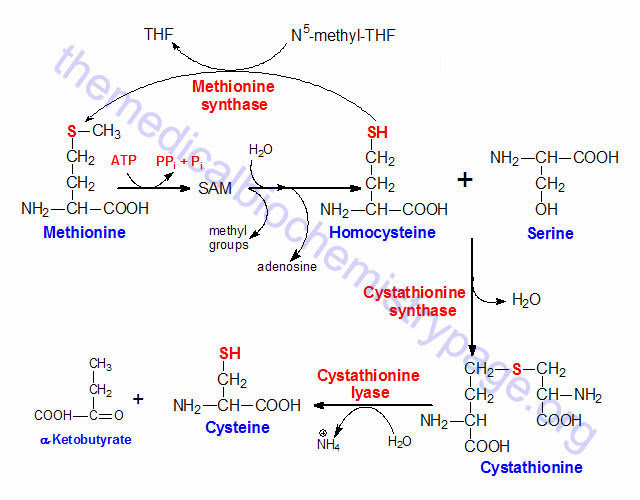含有硫之胺基酸(amino acids with sulfur-) - 小小整理網站 Smallcollation