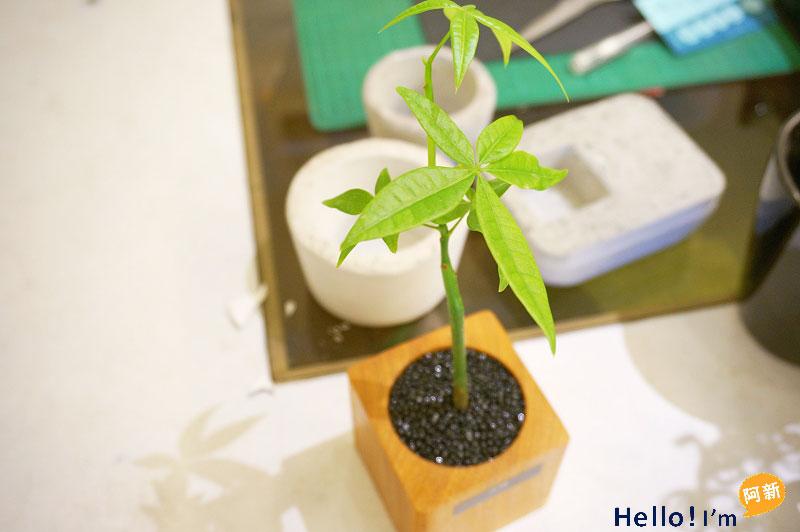 台南植栽,日光夏蘭-8