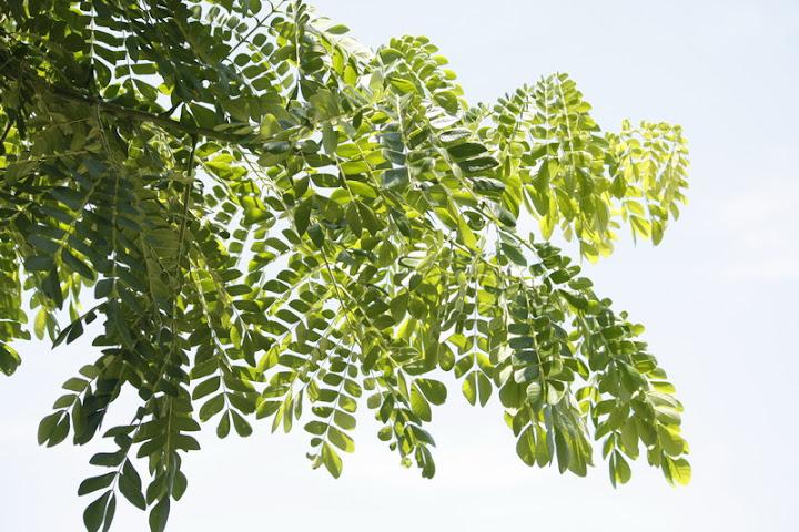 雨豆樹種子