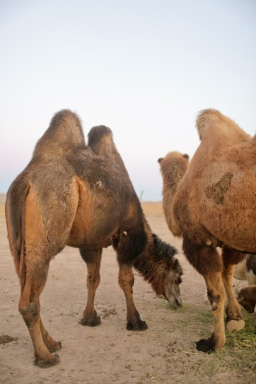Camels at Roos n More Zoo in Las Vegas NV.
