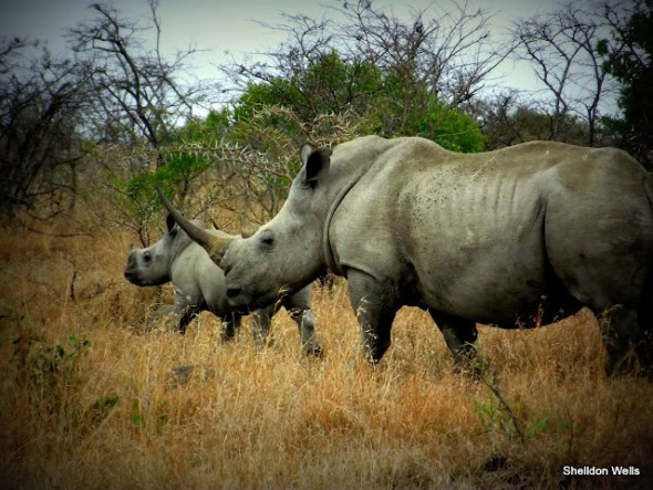 White Rhino at the Hluhluwe Imfolozi Game Reserve on a Day Safari