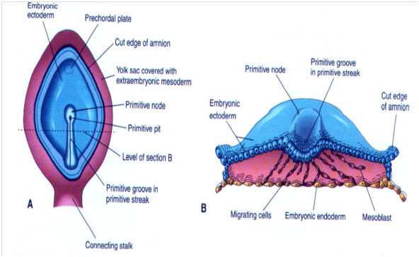 胚層的形成(Formation of germ layers) - 小小整理網站 Smallcollation