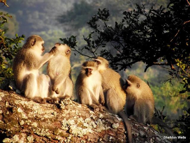 Vervet Monkeys grooming in the sun