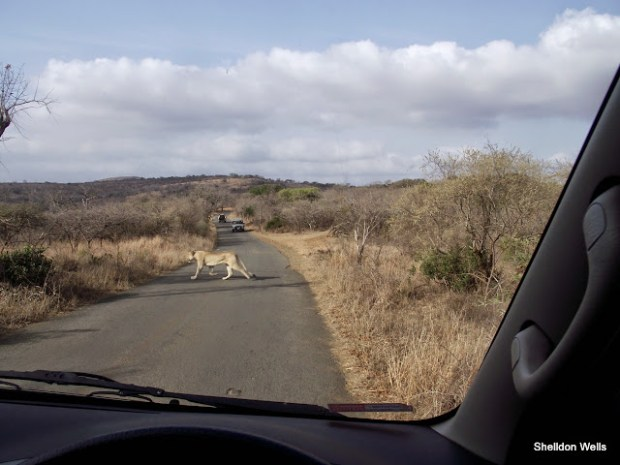 lioness crossing the road at the Hluhluwe Imfolozi Game Reserve