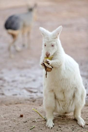 Albino Kangaroo at Roos n More Las Vegas.