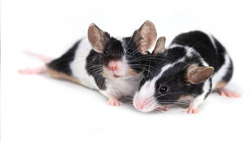Animales cariñosos: Ratones