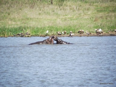 Hippo at Tala Game Reserve