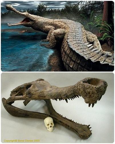 Buaya Miri Crocodile Farm Sangat Aktif. Jarang Nampak