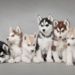 Siberian Husky Puppies Mystery Wallpaper