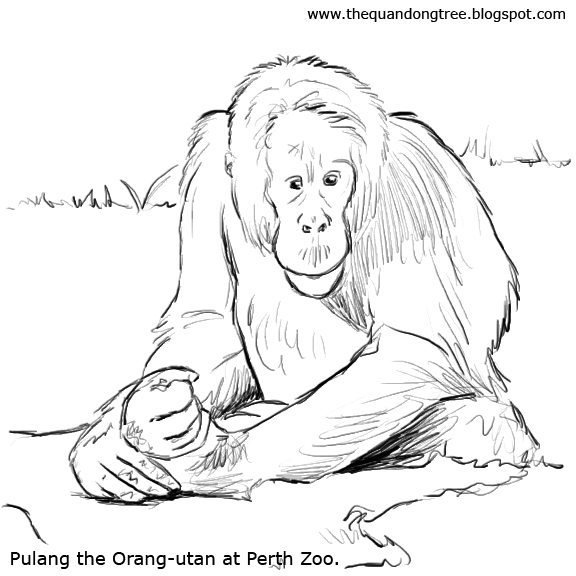 The Quandong Tree: Colouring Pages