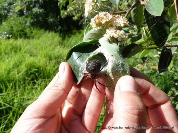 La Araneus granadensis o Granadensis Bogotana