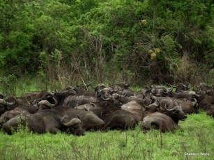 "An ""Obstanancy"" of Buffalo at Hluhluwe Imfolozi Game Reserve"