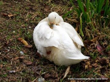 Pato domestico
