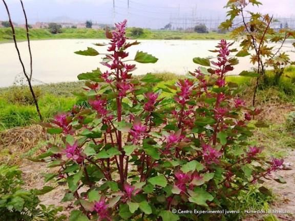 Flora del Humedal Libélula