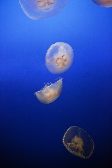 Moon Jellies (Click through to see more images of jellyfish).