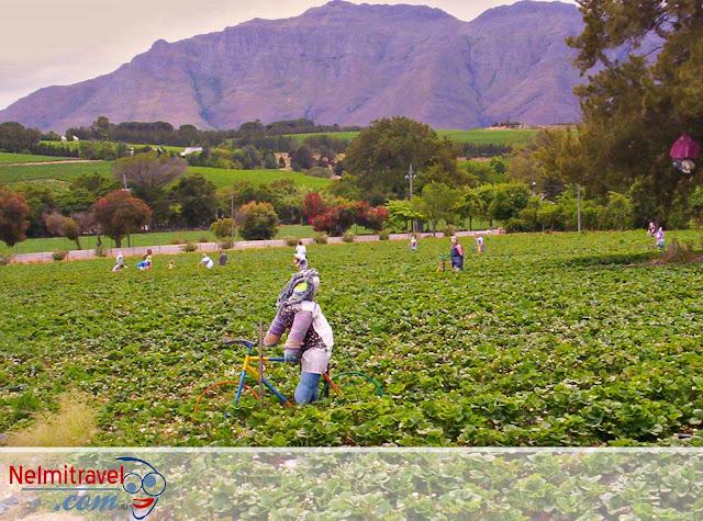 Strawberries,Mooiberge Strawberry Farm,Mooiberg Farm Stall,Strawberry Farms,Strawberry season