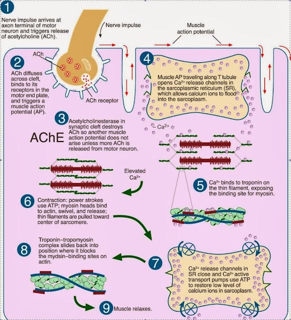 骨骼肌收縮的步驟(skeletal muscle contraction step) - 小小整理網站 Smallcollation
