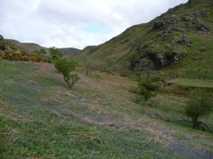 Bluebells are starting to appear in Rannerdale