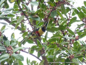 Tucán consumiendo frutos de arrayán