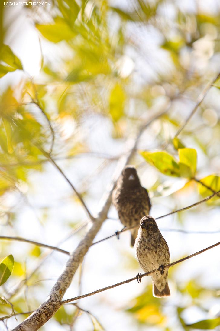 Charles Darwin Finches - Galapagos Birds.