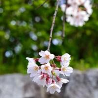 Kirsikankukkakävely itä-Kiotossa