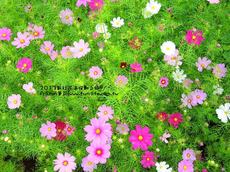 這次2013新社花海花卉好看嗎