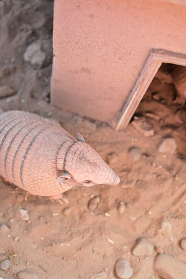Six Banded Armadillo at Roos n More Zoo in Las Vegas.