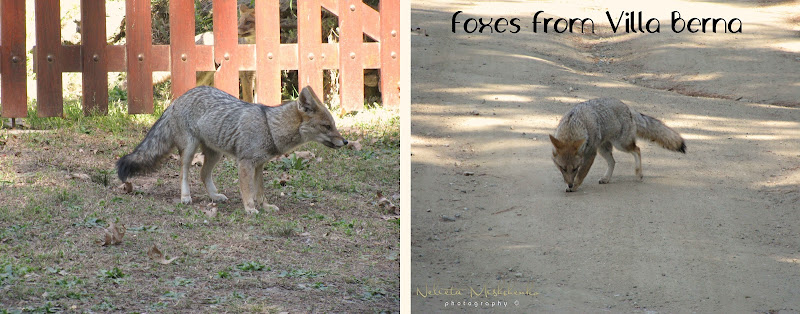 The forest in Villa Berna and foxes