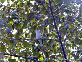 Azulejo perchando en el Aliso