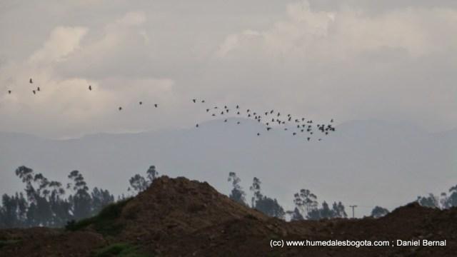 Bandada de ibis