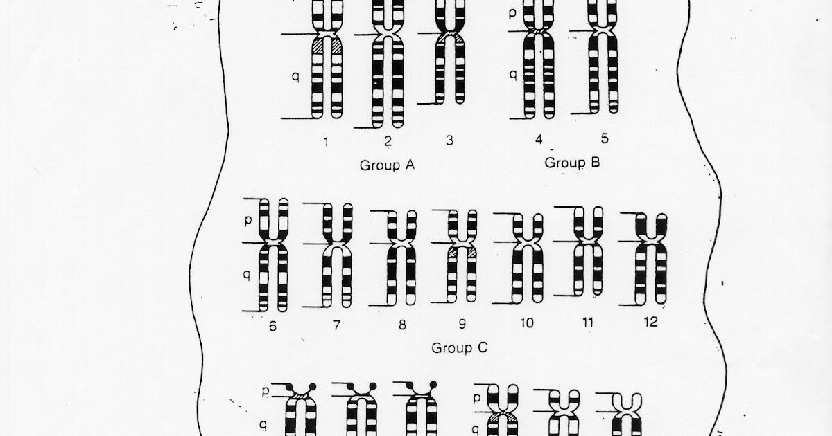 14.1 Human Chromosomes Worksheet Answer Key / Honors