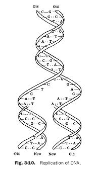 14 Best Images of High School DNA Structure Worksheet DNA