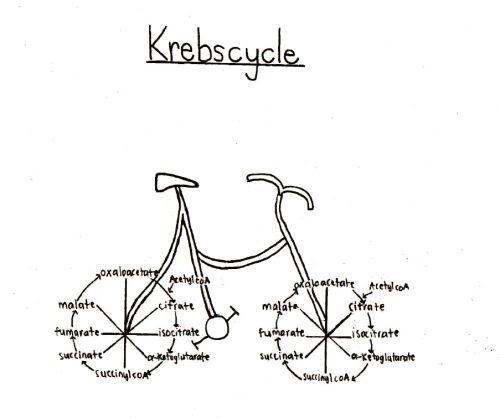 Kreb's Bicycle