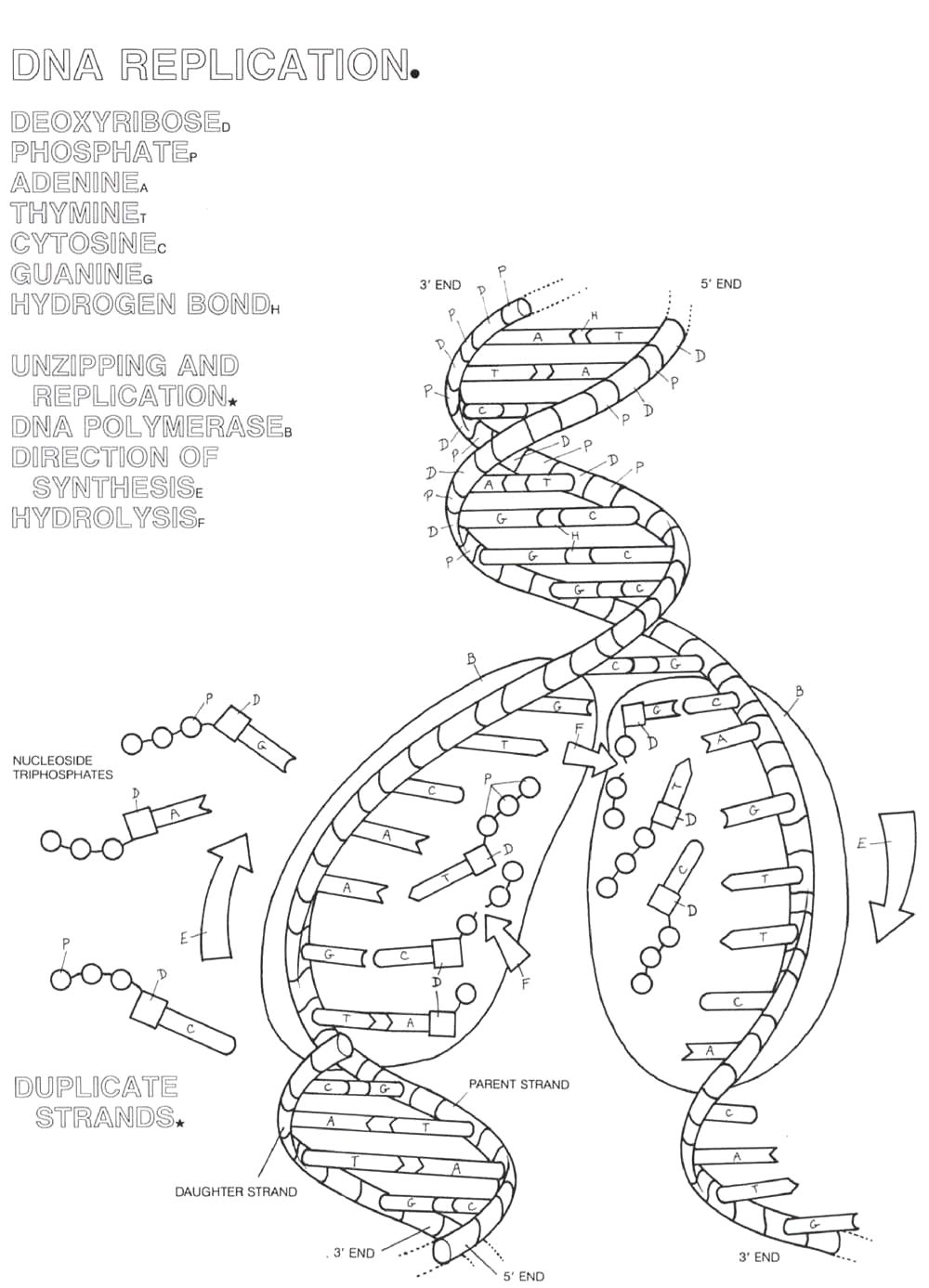 13 Best Images of The DNA Double Helix Coloring Worksheet