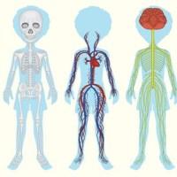33 Malvorlage Menschlicher Körper   Besten Bilder von ...